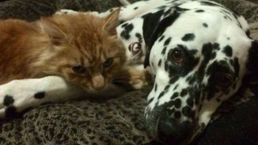 It didn't take Rupert the cat long to settle back in at his West Melbourne home with his mate.