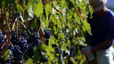 Suspicious attack .... the grapes used in the production of the famous Brunello di Montalcino wine.