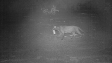 A camera trap captures a feral cat that has killed a Pale Field Rat.