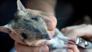 An eastern barred bandicoots bred at Melbourne Zoo.