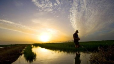 A rice farmer near Griffith, NSW, inspects his crop.