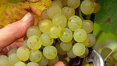 Grape glut ... Taylors Wines CEO Mitchell Taylor is calling for a restructure of the industry.