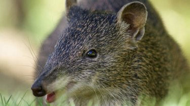 Melbourne's southern brown bandicoot population had been rapidly declining.