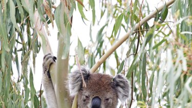 Koala, phascolarctos cinereus.