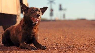 The original star ... Koko in <i>Red Dog</i>.