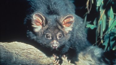 The Greater Glider is in decline with environmentalists concerned about continued logging.