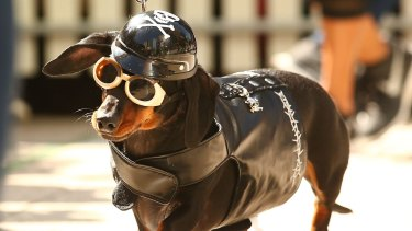 Mini dachshund Chilli, dressed as a biker dog competes in the Hophaus Southgate inaugural best dressed dachshund competition.