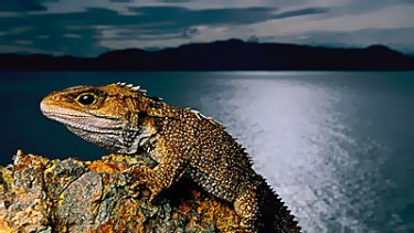 Global warming is set to bring a grim — and limited — future to the tuatara. Nests that are too warm will not produce females.