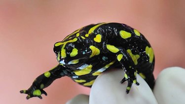 Fewer than 100 southern corroboree frogs remain in the wild.