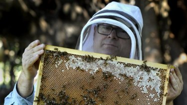 Urban Beehive founder Doug Purdie inspects a beehive after extracting  honey for the first time at the Royal Botanic Gardens in Sydney. Friday,  April 26, 2013. (SHD NEWS) Photo by  Mick Tsikas