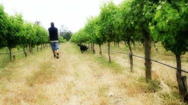 Vineyards in the Margaret River district.