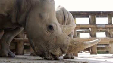Impressive specimens... Kifaru and Ubuntu are headed to Canberra to take part in a captive breeding program.