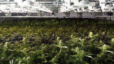 Marijuana plants in a grow house.