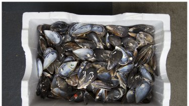A box of used mussel shells for recycling at Little Creatures.