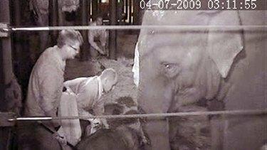 Bundle of joy . . . the calf surprises mum.
