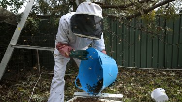 John Johnston from the Beekeepers Association of the ACT places  a swarm of over 60,000 bees into a new hive.