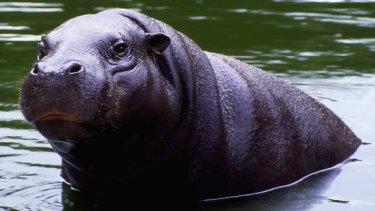 A pygmy hippopotamus.
