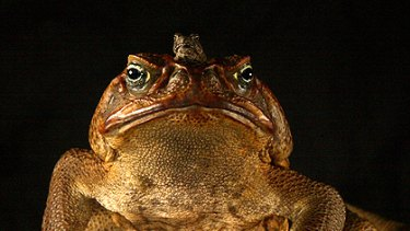 Thousands of cane toads were killed in an annual cull.