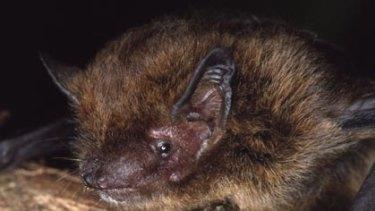A Christmas Island pipistrelle bat.
