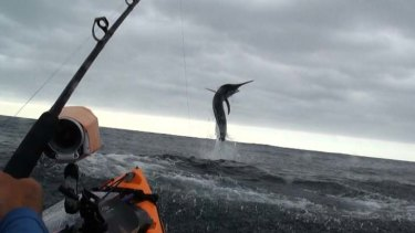 Caught on camera ... a still from Jeff Sheppeard's video shows him finally fighting a marlin.