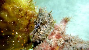 Enchanting: A White's seahorse swims five metres deep in Chowder Bay.