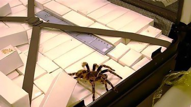 Creepy ... one of the 1000 spiders found in the British man's suitcase.