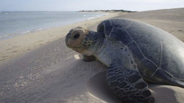 A turtle at Gnaraloo Station in Western Australia.