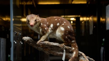 A specimen of <i>Dasyurus maculatas</i>, the tiger or spot-tailed quoll.