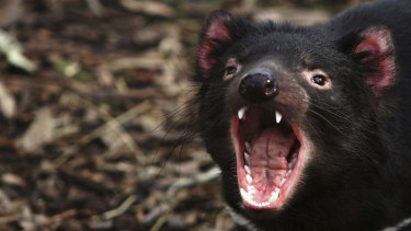 Protection plan: The second approved mine in Tarkine is subject to operation conditions which aim to protect the highly endangered Tasmanian Devil species.