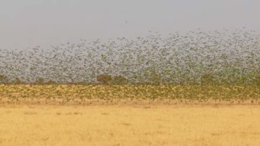 Wing and a prayer ... budgerigars on a mating mission.