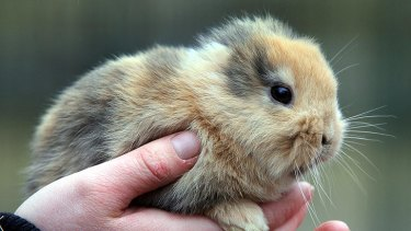 Earless bunny Til had a genetic defect.