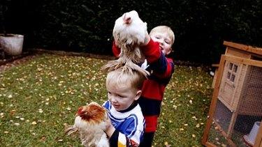 Chooks jump ahead in backyard pecking order