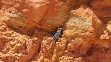One of the red-backed kingfishers that made its nest in opal miner Sue Cooper's  lease, causing her to stop work. Babies were seen a month later.