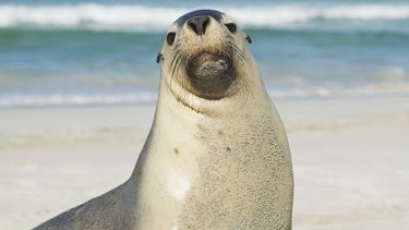 Campaign mascot: An Australian sea lion. The species is just one of many at risk due to wide commerical fishing operations.