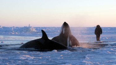 A dozen killer whales have been trapped by sea ice in northern Canada.