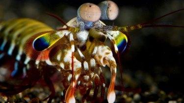 Mantis shrimp eyes have inspired Queensland cancer researchers.