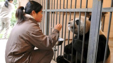 Yuan Yuan, one of the two pandas China is giving to Taiwan, is fed by a Taipei zookeeper  who has been learning how to take care of them.