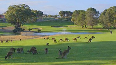 There are about 3500 kangaroos that roam Sun City Country Club in Yanchep.