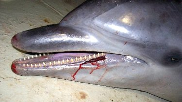 The dolphins are suffocating in trawl nets.