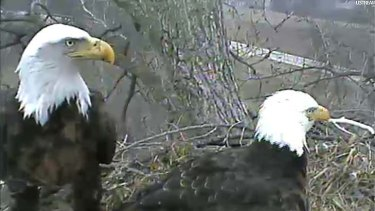 In this image taken from live streaming video provided by the Raptor Resource Project, two eagles stand over their chicks and unhatched eggs in their nest in Decorah, Iowa.