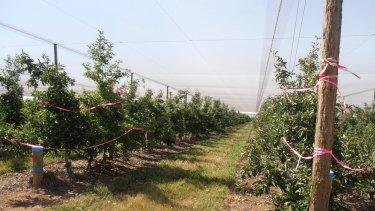 Royal Gala apple orchard under netting.