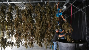 Farmworkers inside a drying barn take down newly-harvested marijuana plants in Colorado.