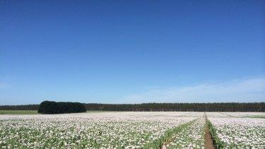 Legal opium poppies growing near Hamilton, Victoria.