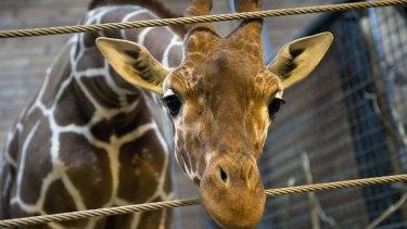 Met with a terrible fate: Marius the giraffe.