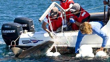 CSIRO scientists tag a juvenile shark at Port Stephens, NSW.