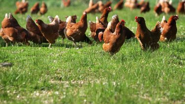 What exactly are free range chickens?