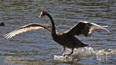 Black swans were once white as snow until they became too vain.