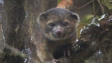 """An """"olinguito (Bassaricyon neblina),"""" the first carnivore species to be discovered in the American continents in 35 years."""