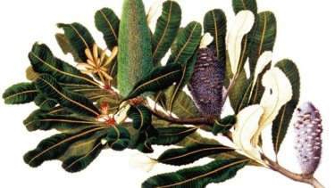 A banksia watercolour by Dr Celia Rosser.
