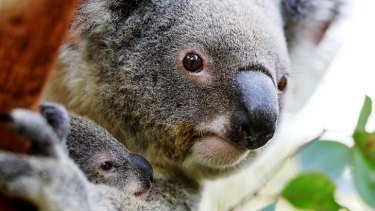 Threat to koala numbers: Roads and Maritime Services has been accused of endangering a rare ancestral koala population.